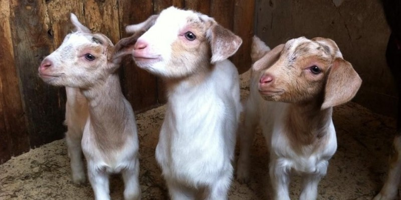 Ms. Oliver's little goats