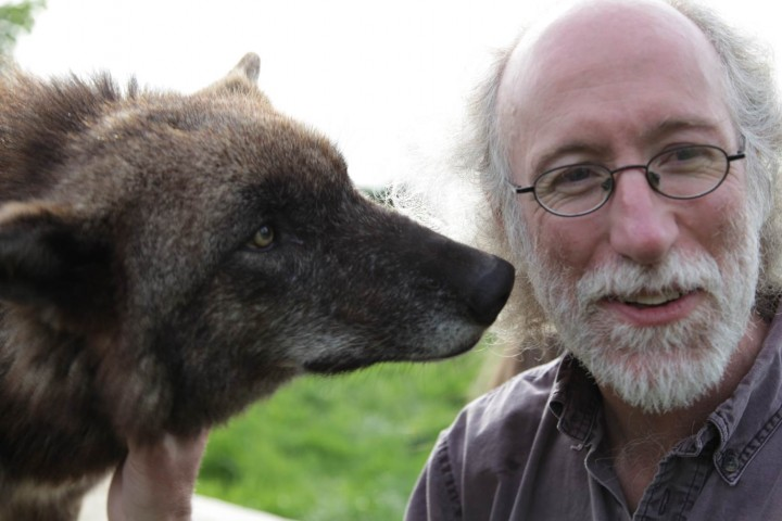 Dr. Alistair interacting with a captive socialized wolf at Wolf Trust in the United Kingdom.