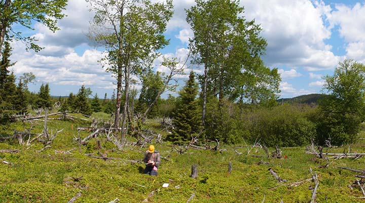 Louis Charron conducts vegetation sampling in a spruce-moose meadow in Terra Nova National Park.