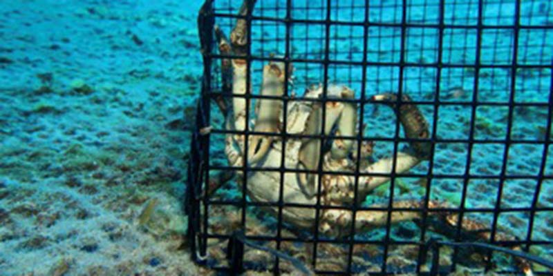 Crab in cage